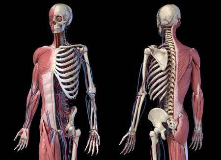 Human Anatomy 34 body skeletal, muscular and cardiovascular systems. Perspective Front and back views, on black background. 3d Illustration Stockfoto