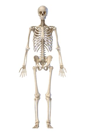 Human anatomy, skeletal system, full figure standing, front view on white background. 3d illustration. Reklamní fotografie