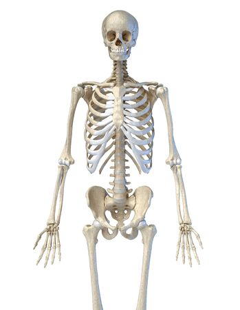 Human anatomy, 34 bone skeletal system. Front view. On white background. 3d illustration. Reklamní fotografie