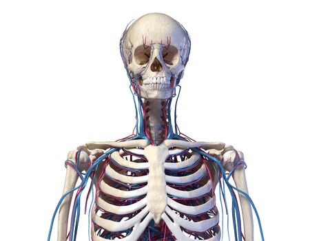 Human anatomy. Skeleton of the torso with veins and arteries. Front view. On white background. 3d illustration.