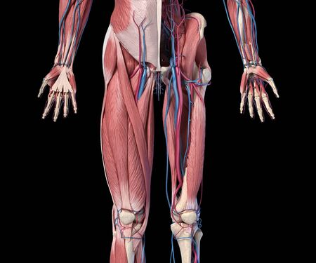 Human Anatomy,  Limbs and hip skeletal, muscular and cardiovascular systems, with sub layers muscles. front view, on black background. 3d Illustration Foto de archivo - 130760179