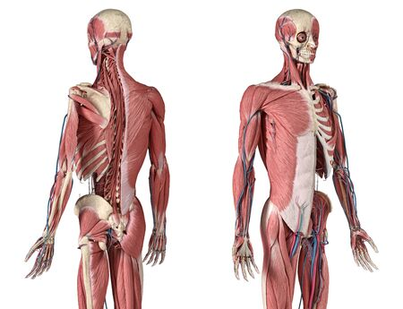 Human Anatomy 34 body skeletal, muscular and cardiovascular systems, with sub layers muscles. Perspactive Front and back views, on white background. 3d Illustration