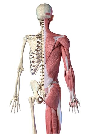 Human male anatomy, 34 figure muscular and skeletal systems, back view on white background. 3d anatomy illustration.