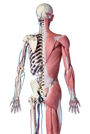 Human Anatomy 34 body skeletal, muscular and cardiovascular systems. Back view, on white background. 3d Illustration