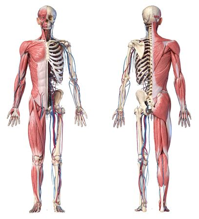 Human Anatomy full body skeletal, muscular and cardiovascular systems. Two views, front and back, on white background. 3d Illustration Stockfoto