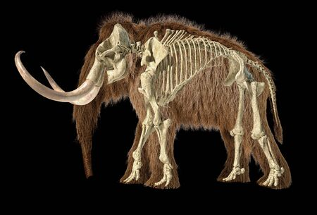 Woolly mammoth realistic 3d illustration with skeleton superimposed, viewed from a side. On black background. 스톡 콘텐츠