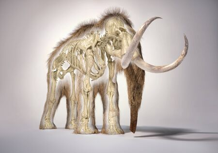 Woolly mammoth realistic 3d illustration with skeleton in morph effect, viewed from frontal perspective. On white background and dropped shadow.