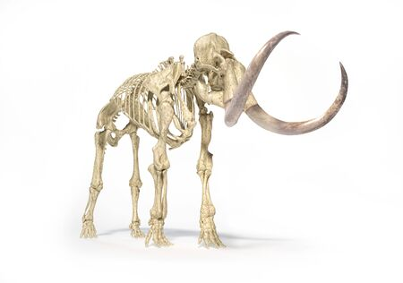 Woolly mammoth skeleton, realistic 3d illustration, viewed from perspective front. On white background and dropped shadow. 스톡 콘텐츠