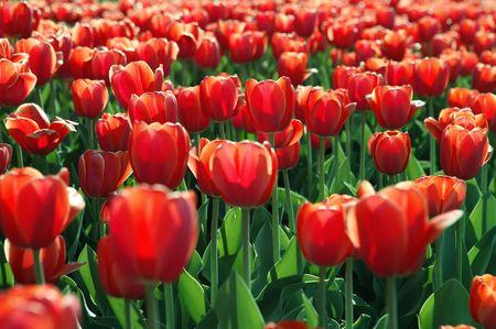 red tulip Banco de Imagens