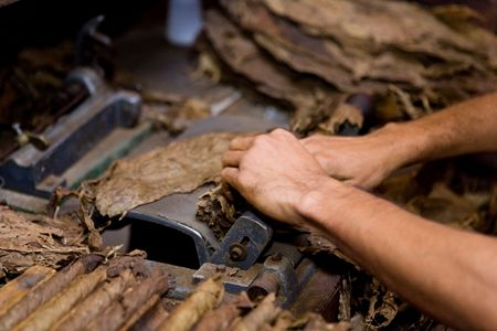 handling tobacco leaves