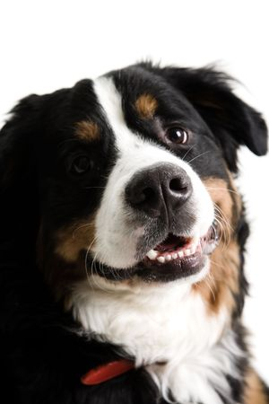 Close up of a dogs face on a white background