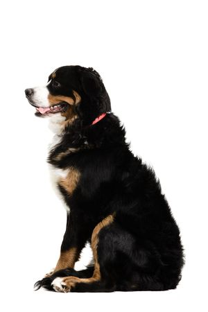 A side profile of a dog sitting up on a white background