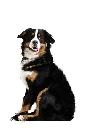 A dog sitting up on a white background