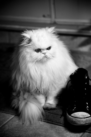 himalayan cat: White persian himalayan cat and a shoe