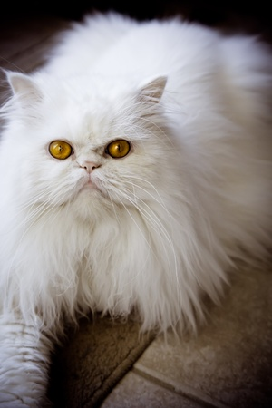 himalayan cat: White persian himalayan cat with nobody