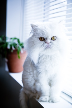himalayan cat: White persian himalayan cat sit near a window