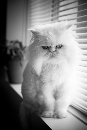 himalayan cat: White persian himalayan cat sit near a window with nobody
