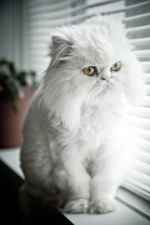 himalayan cat: White persian himalayan cat sit near a window
