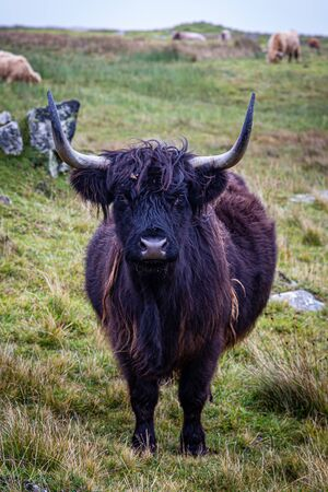 A highland cow in a field on the Hebridean island of North Uist, looking at the camera Reklamní fotografie