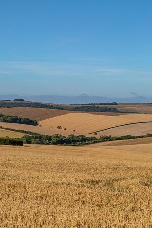 Rolling hills with cereal crops growing  in the South Downs, on a sunny summers day