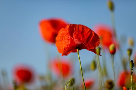 A close up of a vivid red poppy, with a shallow depth of field Stock Photo