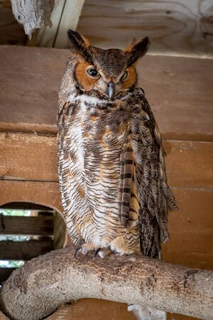 A rescued Great Horned Owl in an animal sanctuary