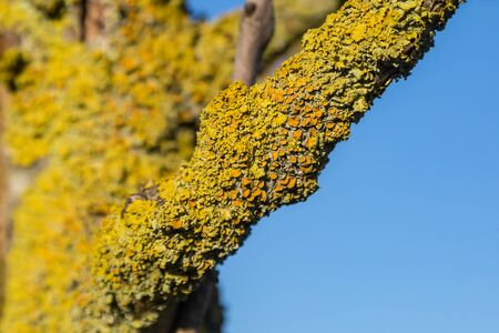 Lichen growing on a tree branch in winter, with a blue sky behind