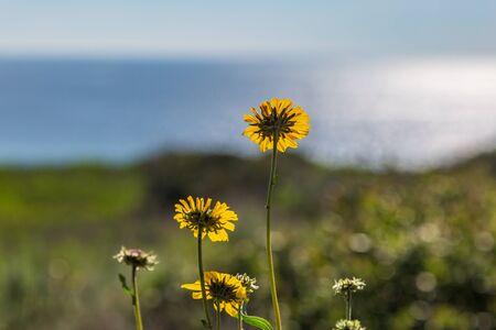 A close up of yellow daisies on a cliff and the ocean behind, with a shallow depth of field Stock Photo
