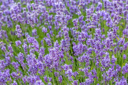 A full frame photograph of lavender flowers