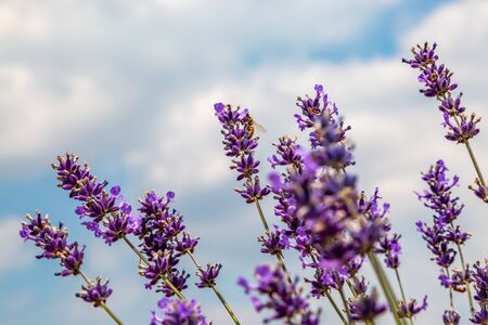 Looking up at lavender flowers against the sky Imagens