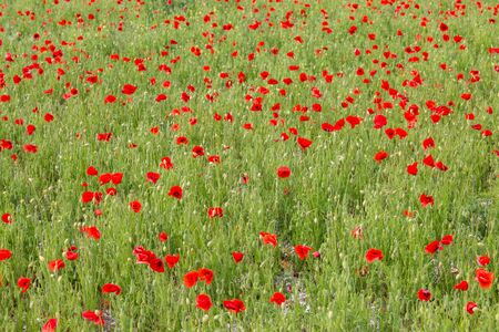 A field of red poppies in Sussex, on a summers day Stock Photo