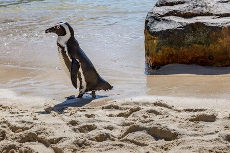 An African Penguin at Boulder's Beach along the Cape Peninsula, in South Africa Stock Photo