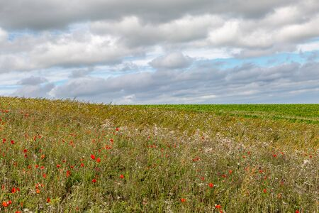 Poppies and other wild flowers growing in the Sussex countryside in late summer