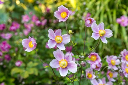 Delicadas flores de anémona rosa, con poca profundidad de campo.