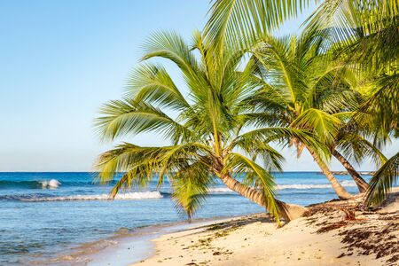 Palm trees and a sandy beach on the island of Barbados, in the Caribbean