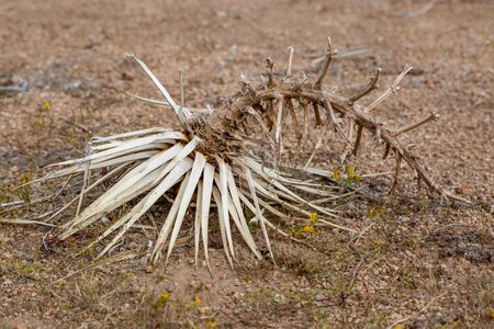 A dried up plant in Joshua Tree National Park Banco de Imagens