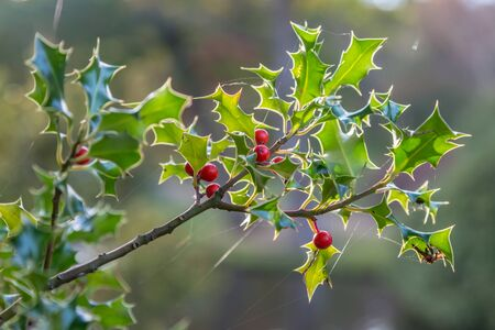 A holly bush growing in the countryside, with a shallow depth of field