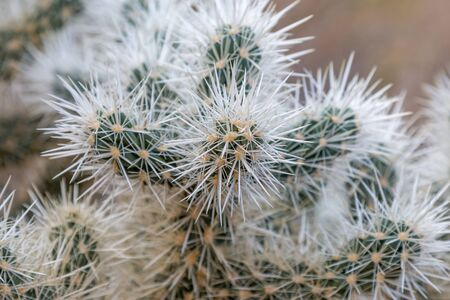 A close up of a Cholla Cactus, in Joshua Tree National Park