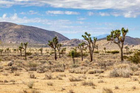 Joshua trees growing in Joshua Tree National Park with mountains behind Banco de Imagens