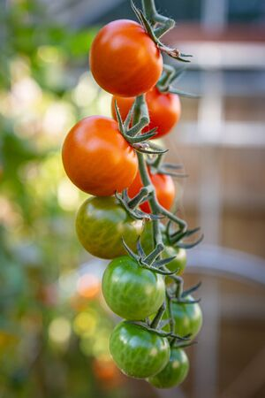 Ripening tomatoes hanging on a vine in a greenhouse