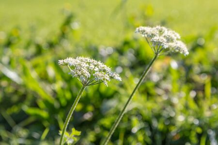 Delicate white wild flowers growing in the Sussex countryside