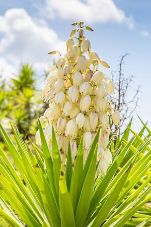 Pretty white flowers on a Yucca Filamentosa plant