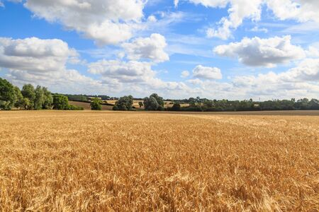 Cereal crops growing on a farm in Suffolk in summer Фото со стока