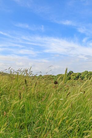 Low angle view of long grass in the countryside, on a sunny summers day