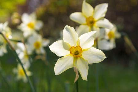 Daffodils in the spring sunshine 版權商用圖片