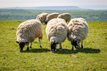 Sheep standing in a row, whilst grazing in the South Downs