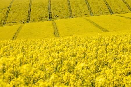 Fields of Canola/Rapeseed Crops in Sussex