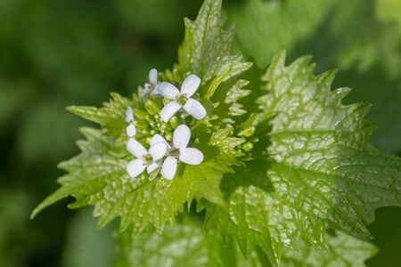 A close up of a Garlic Mustard plant growing in the Sussex countryside 写真素材