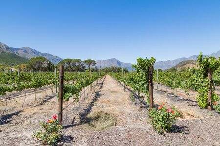A scenic vineyard in South Africa, with mountains in the distance and a blue sky overhead