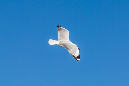 Looking up at a seagull flying against a clear blue sky 免版税图像